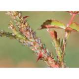 Homeoplant Afidi – rinforza le difese delle piante - Flortis